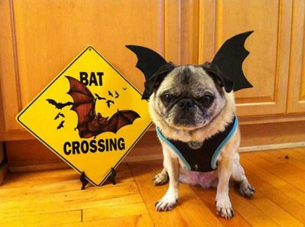 dogs-halloween-costumes-12