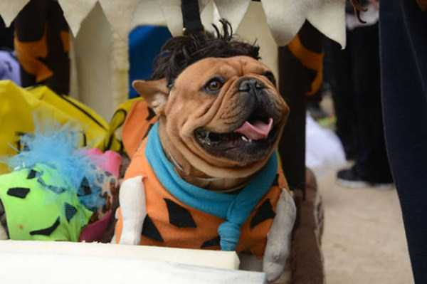 dogs-halloween-costumes-35