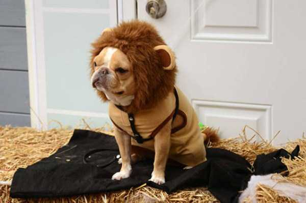 dogs-halloween-costumes-39