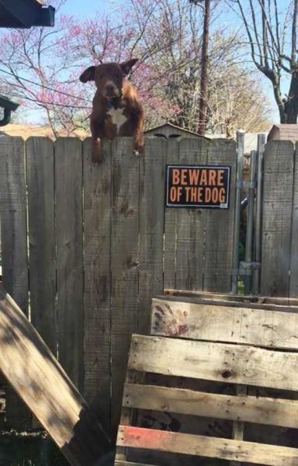 totally-harmless-guard-dogs-11