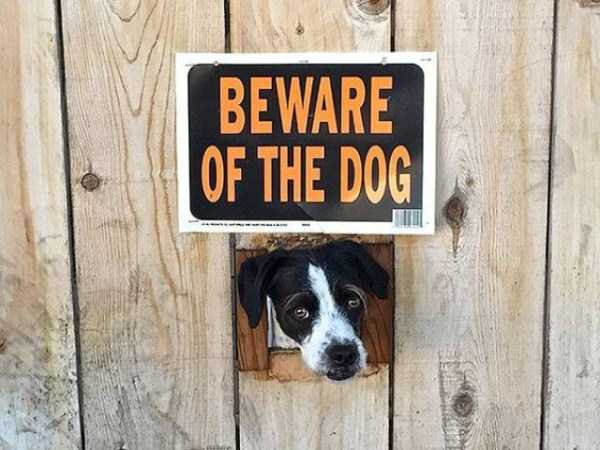 totally-harmless-guard-dogs-32