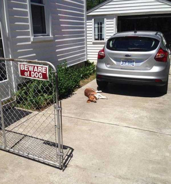 totally-harmless-guard-dogs-33
