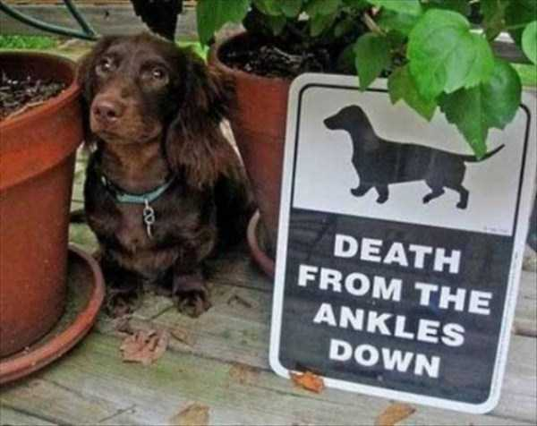 totally-harmless-guard-dogs-37