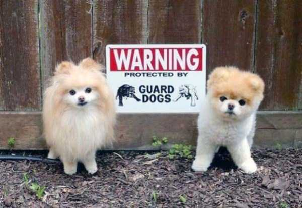 totally-harmless-guard-dogs-7