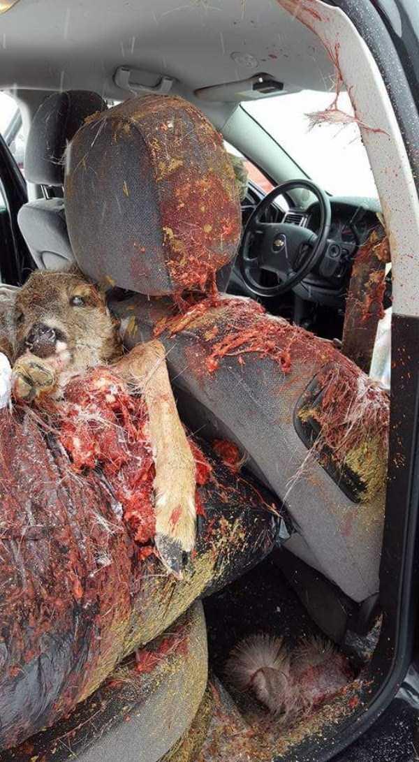deer-crash-aftermath (5) | KLYKER COM