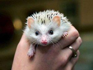 funny-cute-hedgehogs (1)