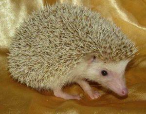 funny-cute-hedgehogs (10)