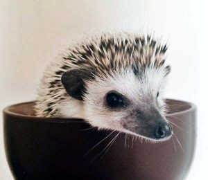 funny-cute-hedgehogs (11)