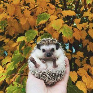 funny-cute-hedgehogs (12)