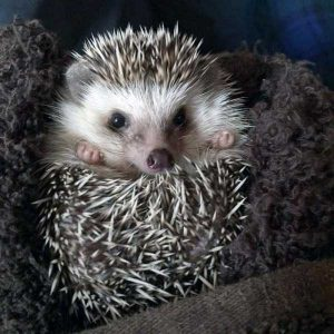 funny-cute-hedgehogs (13)