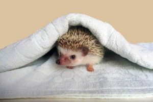 funny-cute-hedgehogs (14)
