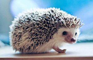 funny-cute-hedgehogs (15)
