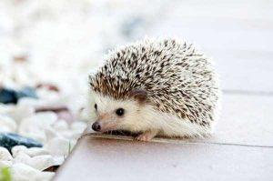 funny-cute-hedgehogs (16)