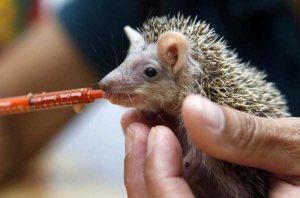 funny-cute-hedgehogs (17)