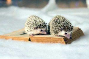 funny-cute-hedgehogs (2)