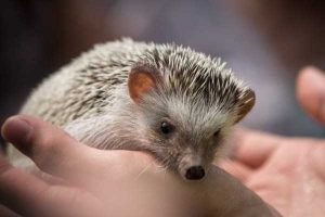 funny-cute-hedgehogs (20)
