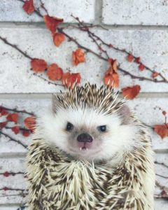 funny-cute-hedgehogs (21)