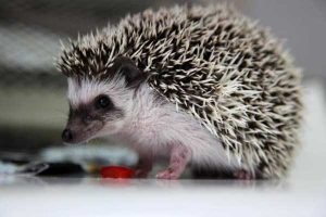 funny-cute-hedgehogs (22)