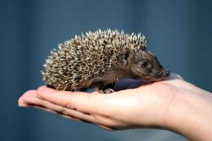 funny-cute-hedgehogs (23)
