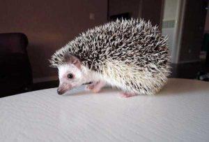 funny-cute-hedgehogs (24)