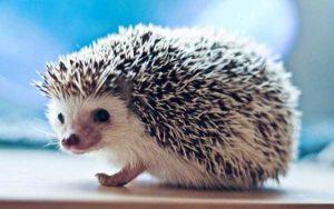 funny-cute-hedgehogs (3)
