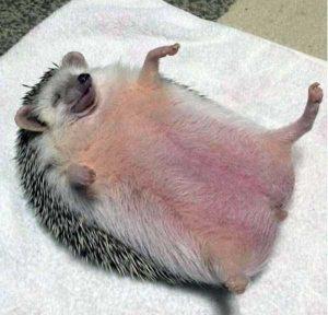 funny-cute-hedgehogs (4)