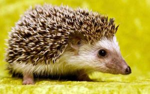 funny-cute-hedgehogs (5)