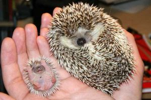 funny-cute-hedgehogs (6)