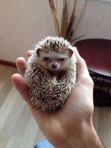 funny-cute-hedgehogs (7)