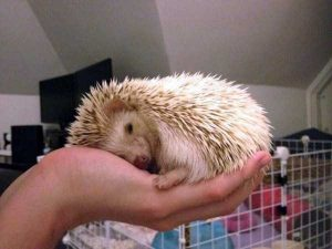 funny-cute-hedgehogs (8)