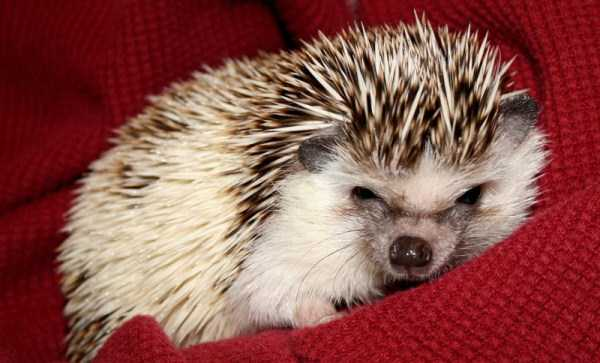 funny-cute-hedgehogs (9)