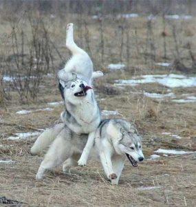 funny-dog-fails (17)