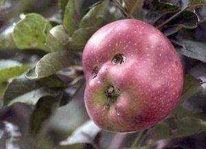 unusual-shaped-fruits-vegetables (35)