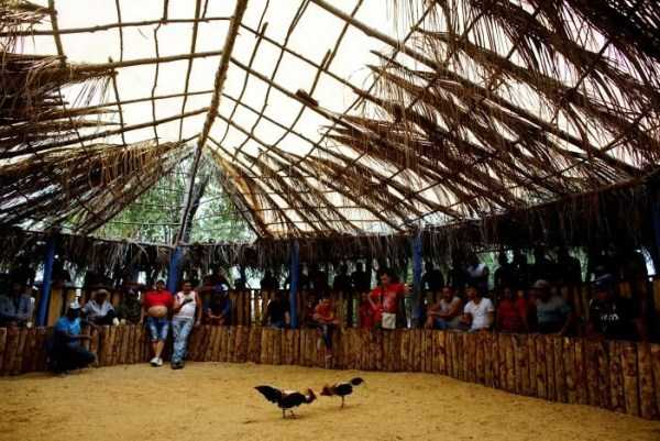 cockfighting-in-cuba (2)