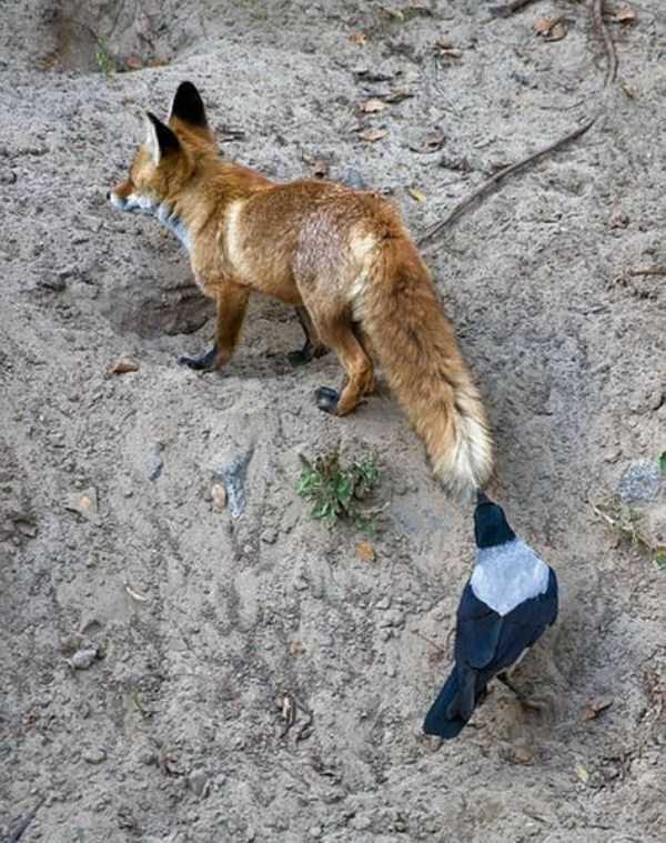 funny-crows-pics (11)