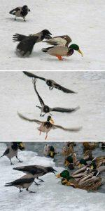 funny-crows-pics (15)