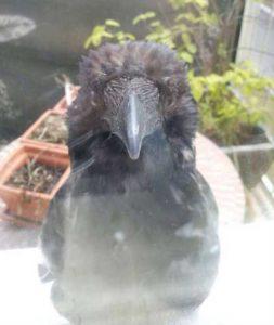funny-crows-pics (16)