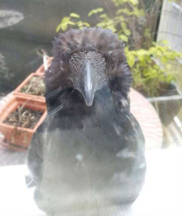 funny-crows-pics (16)