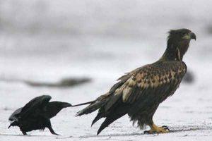 funny-crows-pics (19)