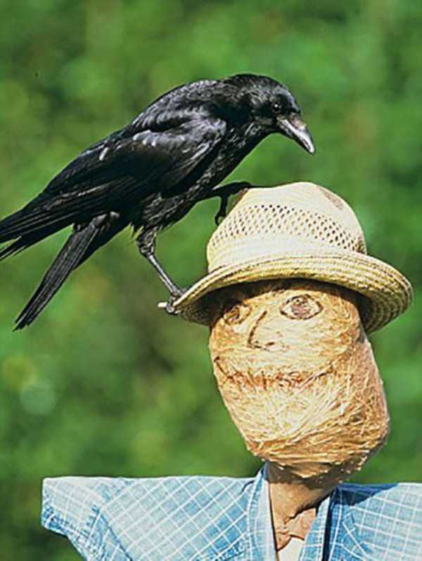 funny-crows-pics (2)