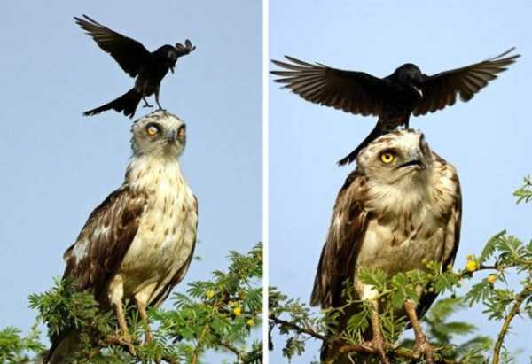 funny-crows-pics (21)