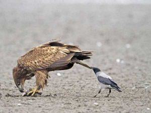 funny-crows-pics (23)