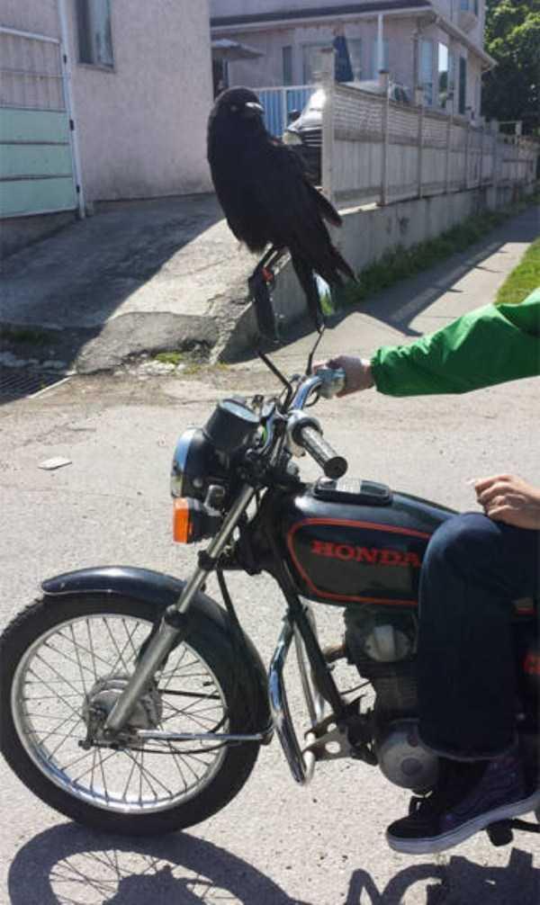 funny-crows-pics (24)