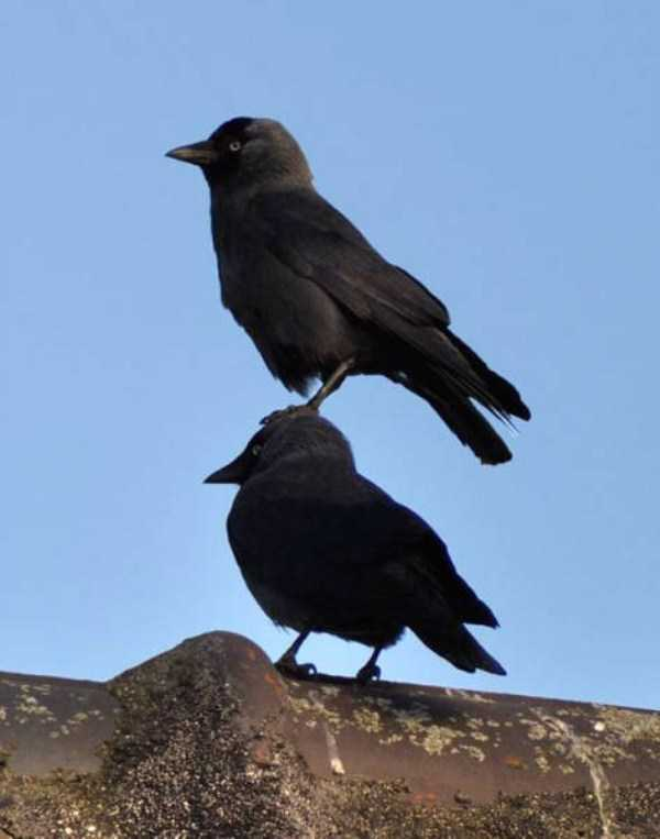 funny-crows-pics (25)