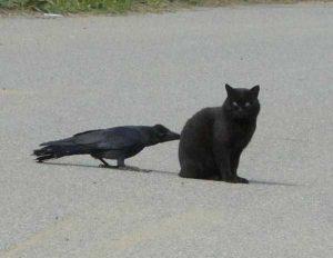 funny-crows-pics (26)