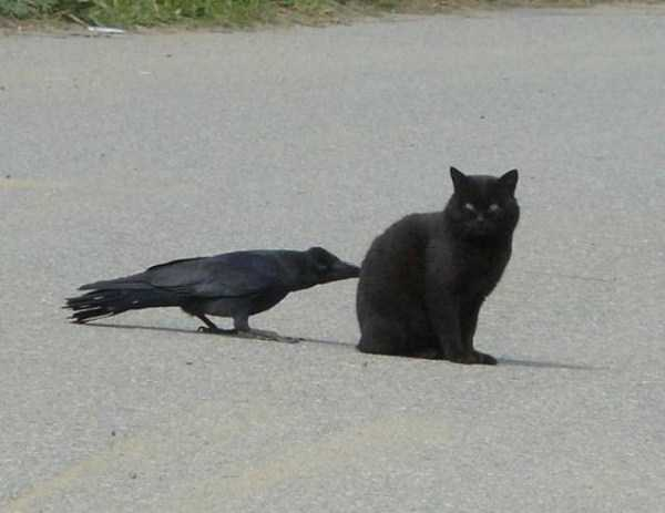 funny-crows-pics (26)