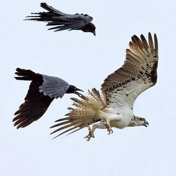 funny-crows-pics (28)