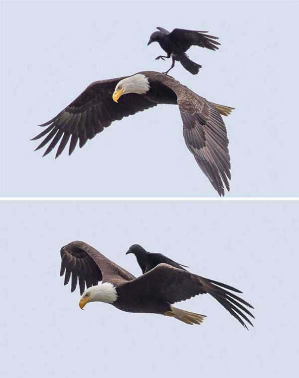 funny-crows-pics (31)