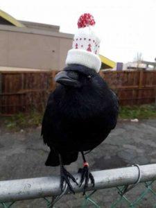 funny-crows-pics (33)