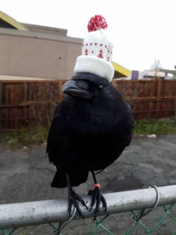 funny-crows-pics (33)